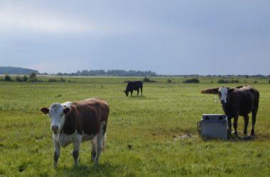 Pressemitteilung: Freihandel | Rindfleischerzeugung in Deutschland und Europa schutzlos ausgeliefert
